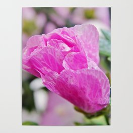 Pink Musk Mallow Rolled-up Poster