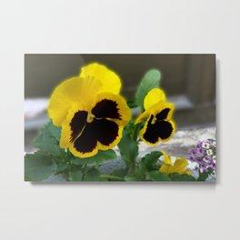 two yellow pansies Metal Print