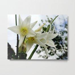Photo white amaryllis Metal Print