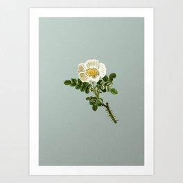 Vintage Burnet Rose Botanical Illustration on Mint Green Art Print