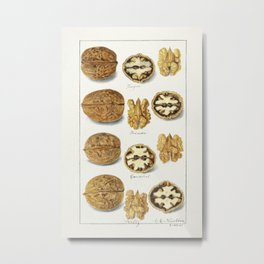 Walnuts (Juglans) (1911) by Amanda Almira Newton. Metal Print