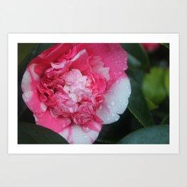 Camellia Raindrops Art Print