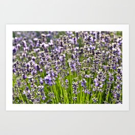 French Blue Lavender Art Print