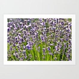 French Blue Lavender Art Print