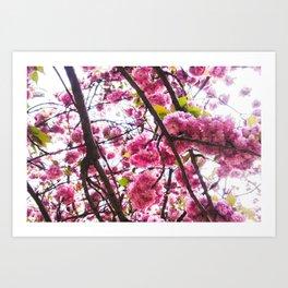 Cherry Blossom Lover Art Print