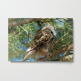 Northern Saw-whet Owl in an Evergreen Tree Metal Print