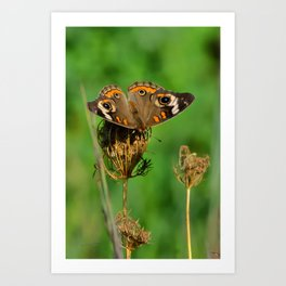 COMMON BUCKEYE BUTTERFLY IN THE FALL (Close-Up) Art Print