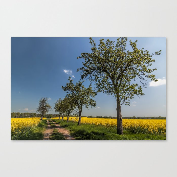 Spring landscape- a trail in the rapeseed Canvas Print