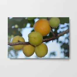 Apricots ripen on the tree. Metal Print