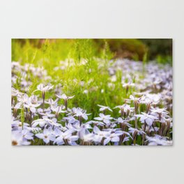 Sun-kissed Meadows with White Star Flowers Canvas Print