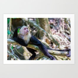 White headed capuchin monkey Art Print