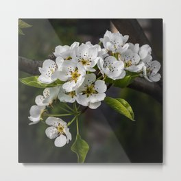 Flowering Pear Tree Metal Print