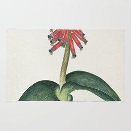 Robert Jacob Gordon - Lachenalia bulbifera - 1777/1786 Rug
