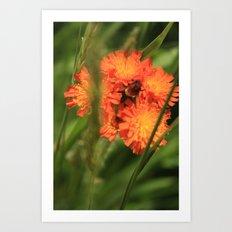 Orange Hawkweed Wildflowers Art Print
