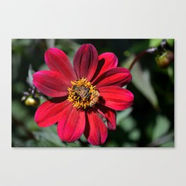 Two Bees on a Red Dahlia Canvas Print