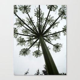 Umbel Canvas Print