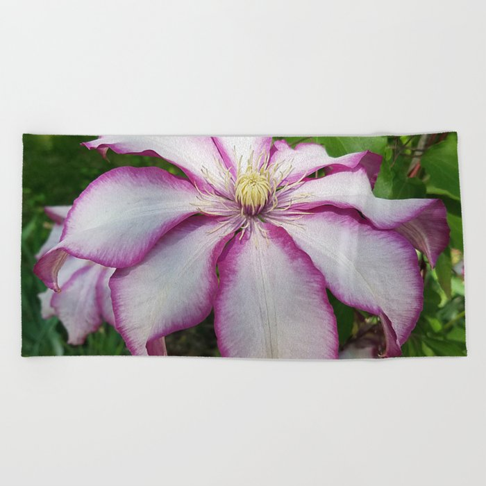 Clematis 'Betty Risdon'- Stunning two-tone flowers Beach Towel