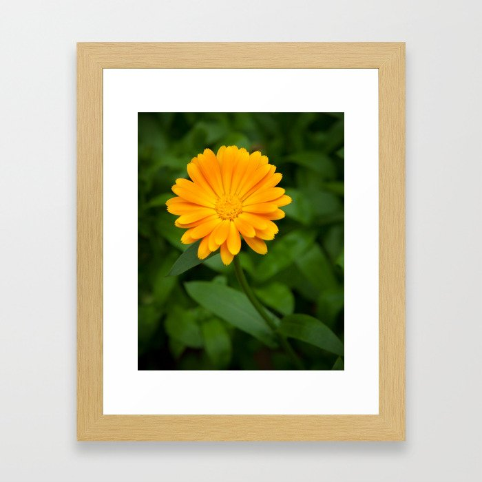 Yellow flower calendula officinalis and green leaves on background Framed Art Print
