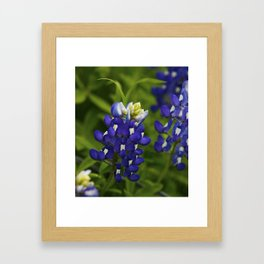 Bluebonnet Framed Art Print