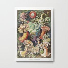 Actiniae–Seeanemonen from Kunstformen der Natur (1904) by Ernst Haeckel. Metal Print