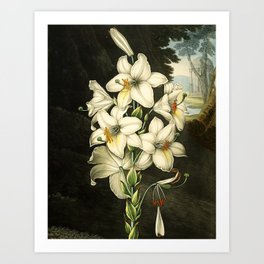 The White Lily : New Illustration Of The Sexual System Art Print