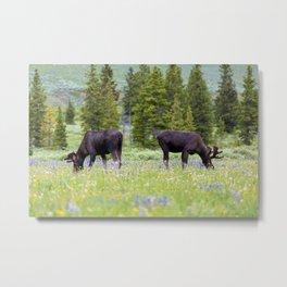 Two Moose Grazing Metal Print