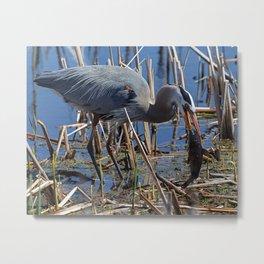 Great Blue Heron Fishing Metal Print