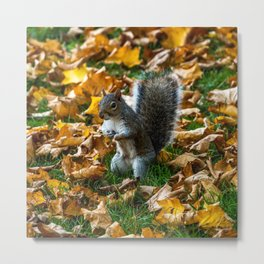 Grey Squirrel. Metal Print