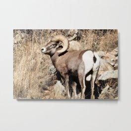 A bighorn sheep in Colorado National Monument Metal Print