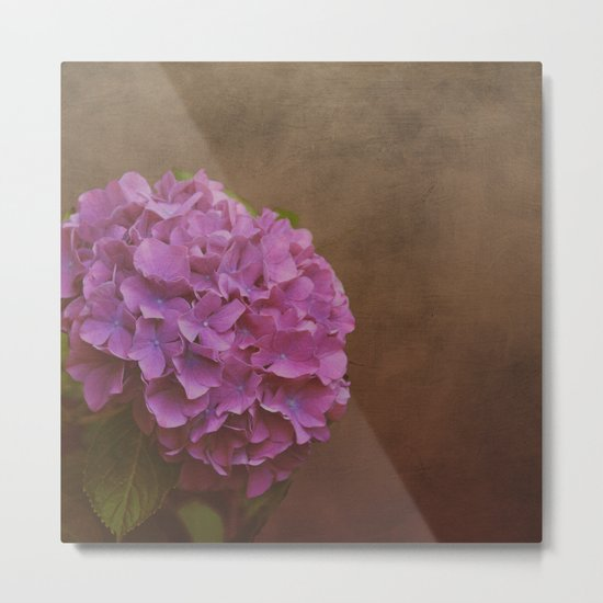 Pink hydrangea with a touch of blue Metal Print