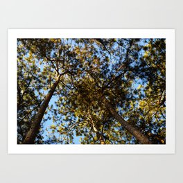 EVENING PINES Art Print