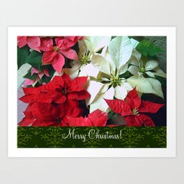Mixed color Poinsettias 1 Merry Christmas S6F1 Art Print