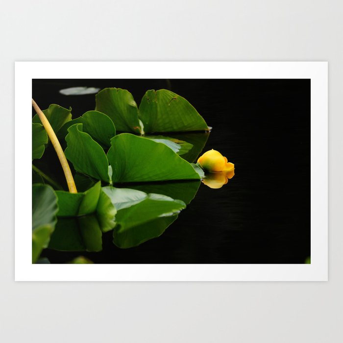 Yellow Pond Lily Art Print