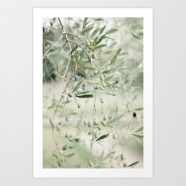 Olives in Tuscany Art Print