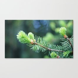 Spruce branch in spring. Canvas Print