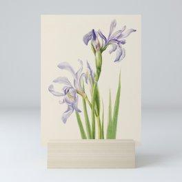Iris Watercolor Vintage Botanical Print, Mary Vaux Walcott Mini Art Print