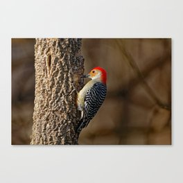 Red-Bellied Woodpecker Drumming Canvas Print