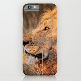Lion in the evening light, South Africa iPhone Case