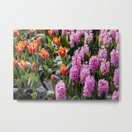 Garden with Orange Tulips and Pink Hyacinth Flowers in Amsterdam, Netherlands Metal Print