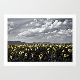 Sunflowers of Tuscany Art Print