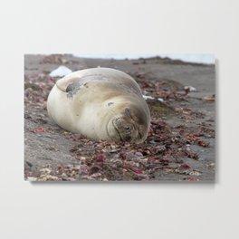 Young elephant seal Metal Print