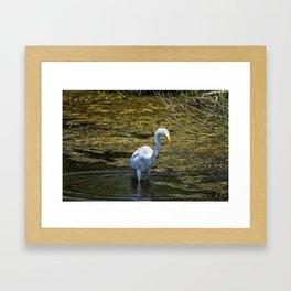 Great Egret Foraging in a Stream Framed Art Print