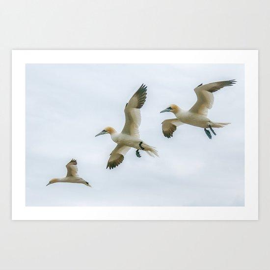 Gannet trio Art Print