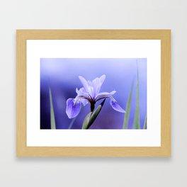 The Blue Flag Iris, full blue bloom Framed Art Print