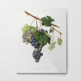 Vineyard Grape by Giorgio Gallesio (1772-1839) catalysisculture Metal Print