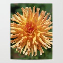 Stunning Apricot Dahlia Poster