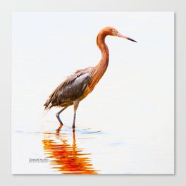 Reddish Egret 5 by Darrell Hutto Canvas Print