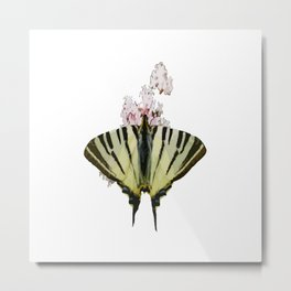 Scarce Swallowtail On Wild Garlic Flowers Vector Isolated Metal Print