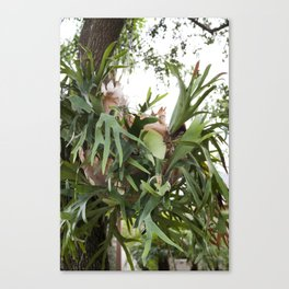 Staghorn Fern Obsessed Canvas Print
