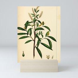 Dusky Willow, salix melanopsis Redoute Roses 3 Mini Art Print